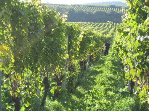 Vineyard in the wine-growing region of the Palatinate