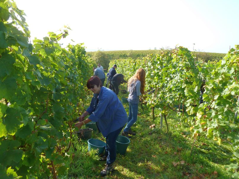 a grape harvesting