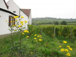 Vineyards on the outskirts of Kallstadt